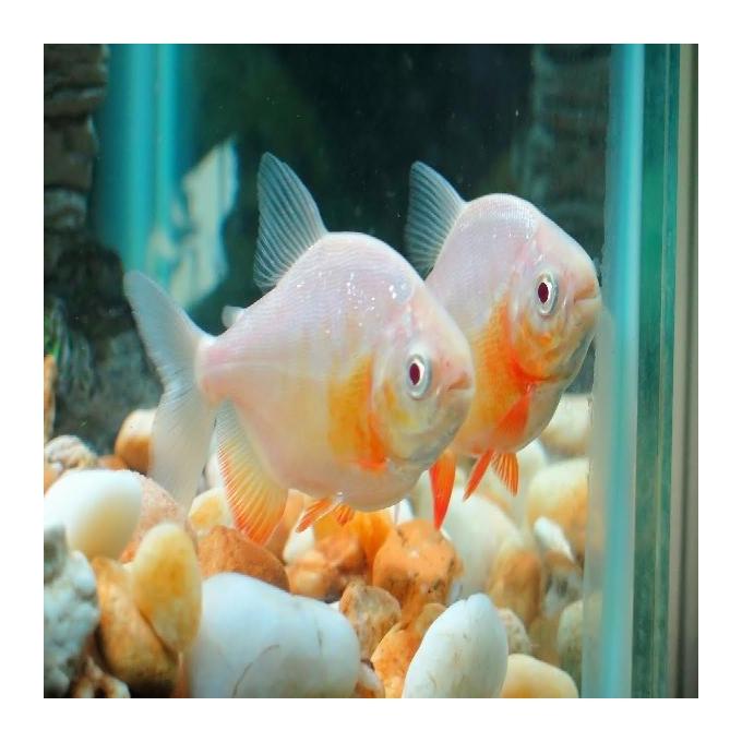 Pacu albino 25 cm