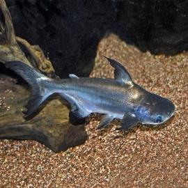 Pangasius comun pq