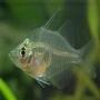 Peixe vidro transparente