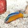 Pseudochromis neon arabian