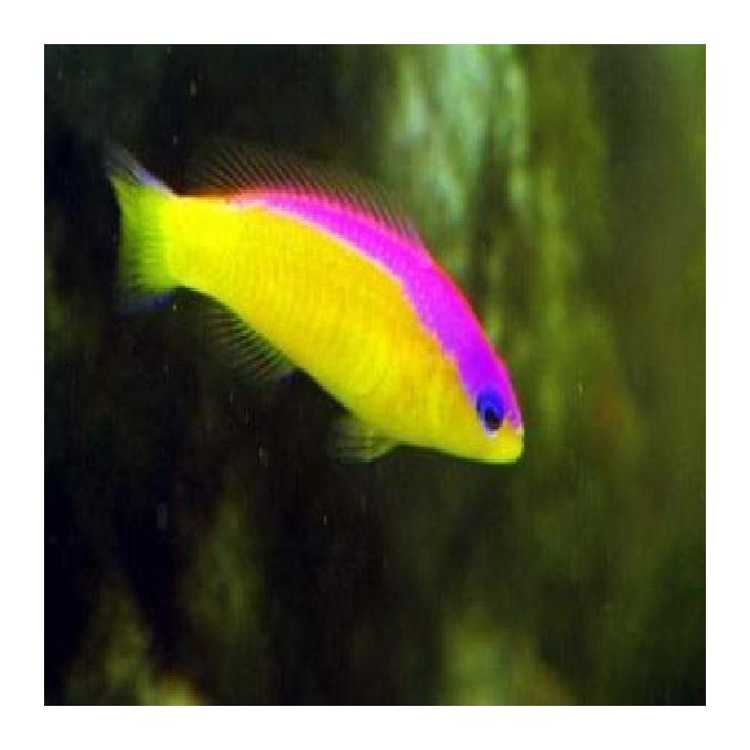 Pseudochromis diadema