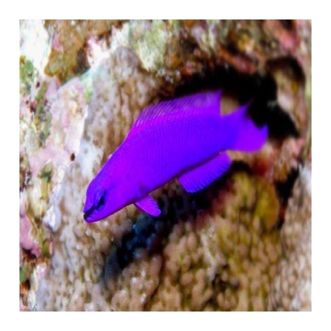Pseudocromis fridmani