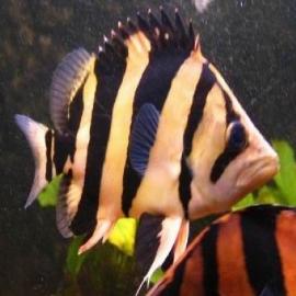Siamese tiger pq