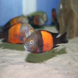 Cicl tropheus bemba red md