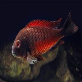 Cicl tropheus red moliro