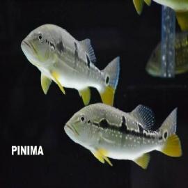 Tucunare Pinima 15/20 Cm