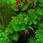 Planta n ninfeia verde