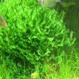 Planta n musgo round pelia