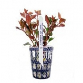 Planta n ludwigia sp red tk