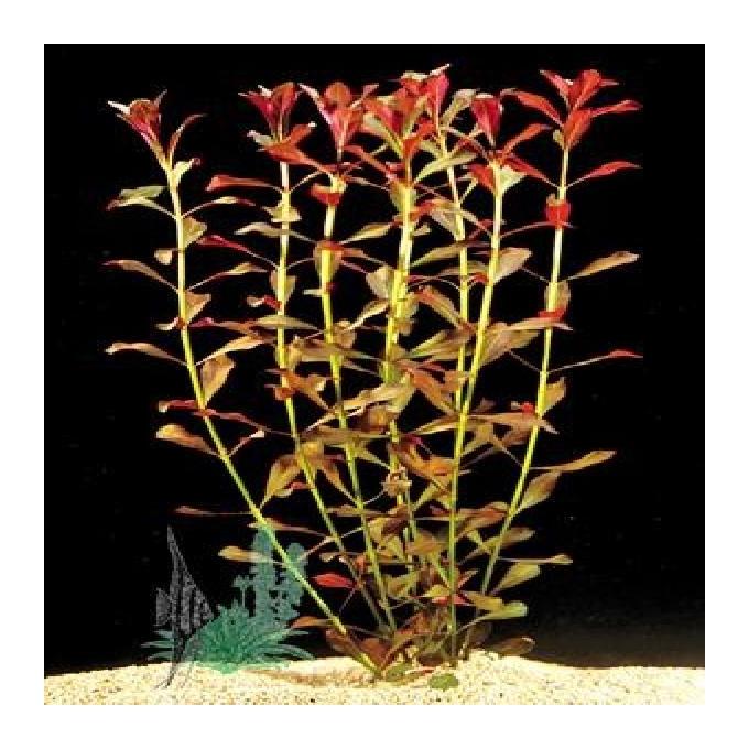 Planta n ludwigia red