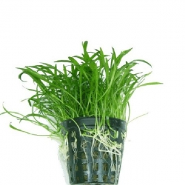 Planta n lilaeopsis brasiliensis tk