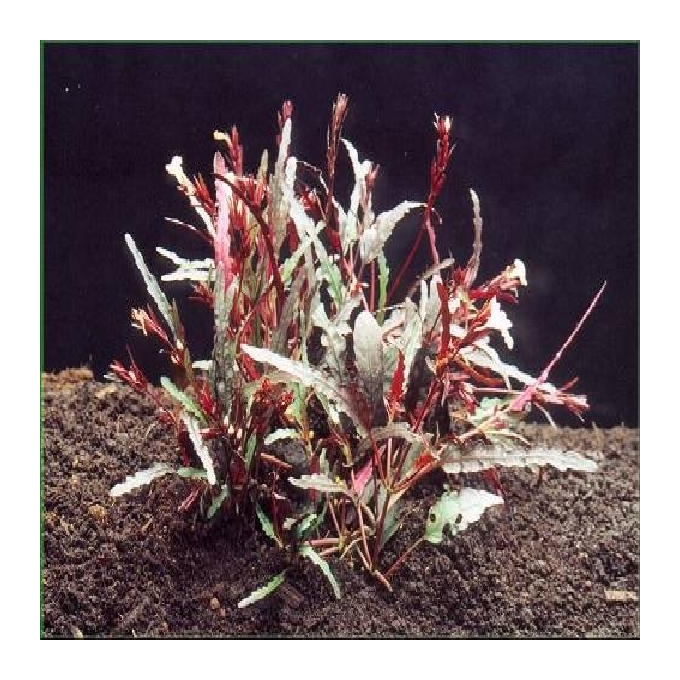 Planta n jacobina