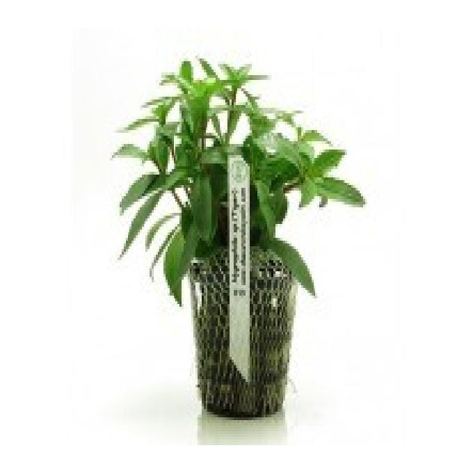 Planta n hygrophyla sp tiger tk