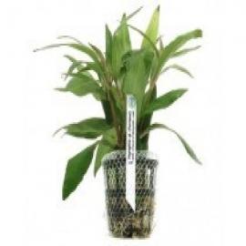 Planta n hygrophyla sp pantanal tk