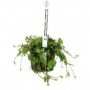 Planta n hydrocotyle tripartita/mini tk
