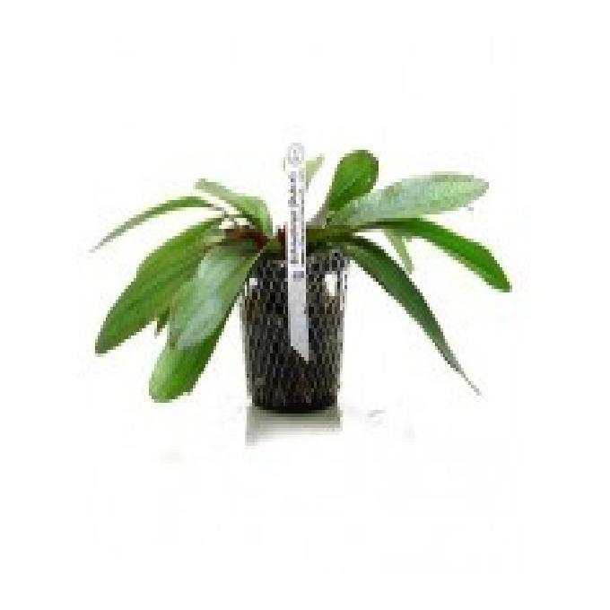 Planta n echinodorus rubin tk