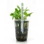 Planta n echinodorus quadricostatus tk