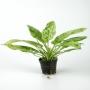 Planta n echinodorus marbqueen tk