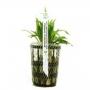 Planta n echinodorus latifolius tk