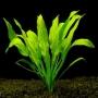 Planta n echinodorus amazonicos tk