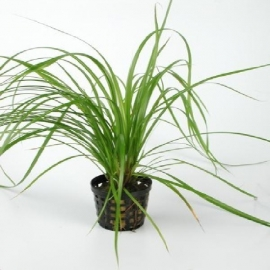 Planta n cyperus helferi tk