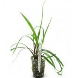 Planta n cryptocorine spiralis tk