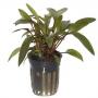 Planta n cryptocorine beckettii tk