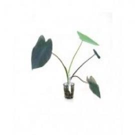 Planta n colocasia esculenta tk