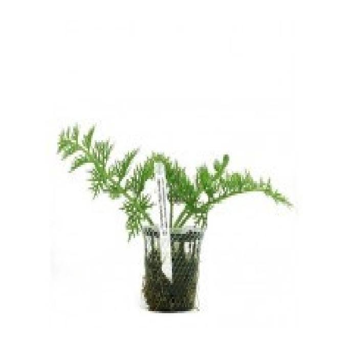 Planta n ceratopteris thalictroides tk