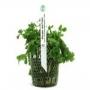 Planta n bacopa australis tk