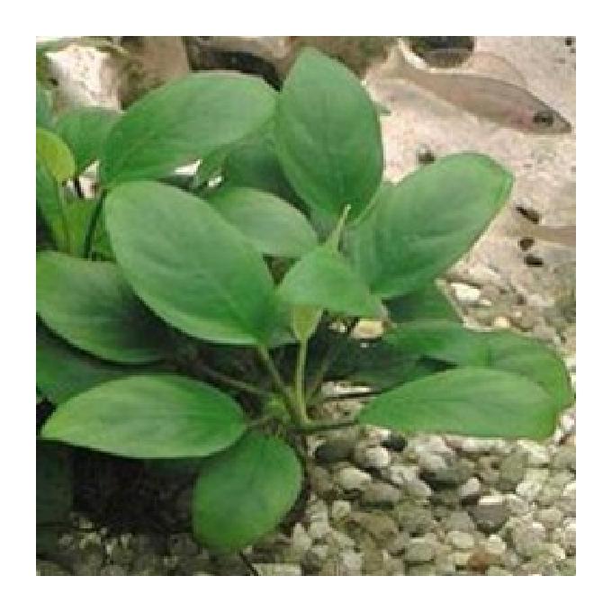 Planta n anubia nana