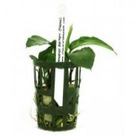 Planta n anubia barteri nana tk