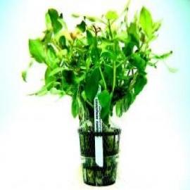 Planta n ammannia senegalensis tk