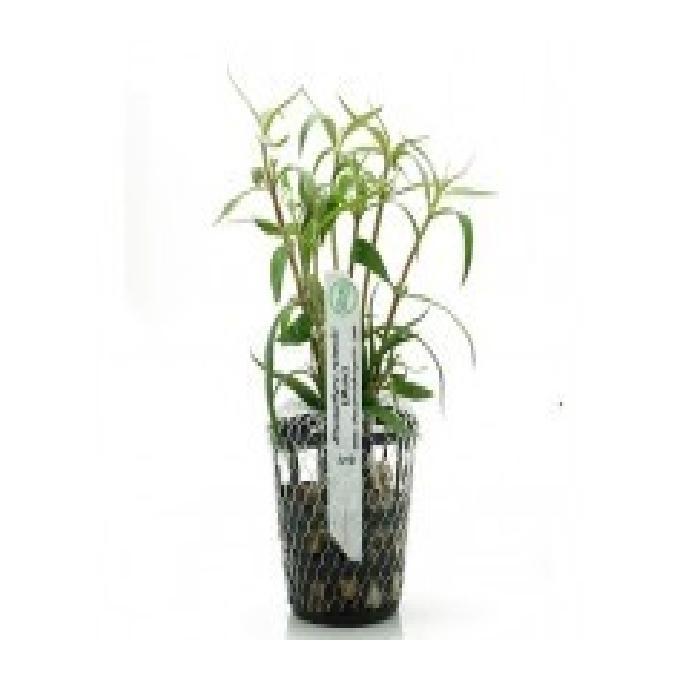 Planta n alternanthera reineckii mini tk