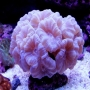 Coral trumpet white md