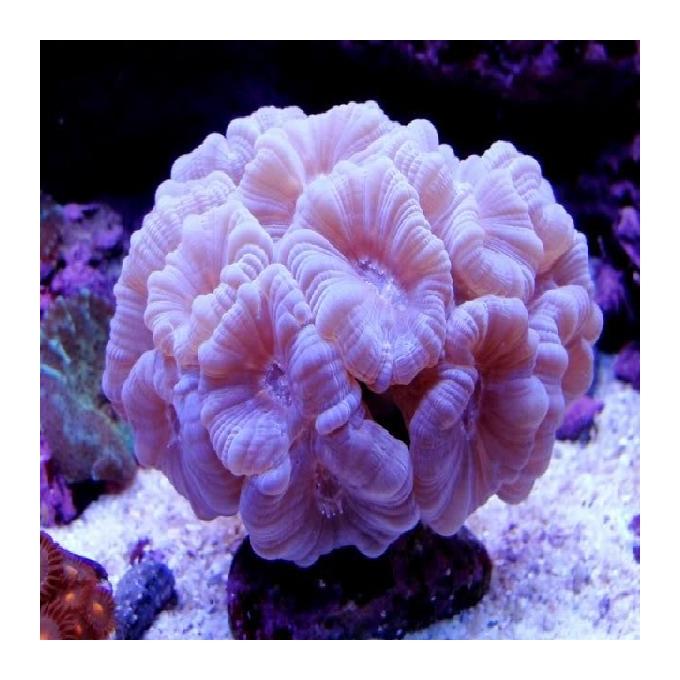 Coral trumpet white peq