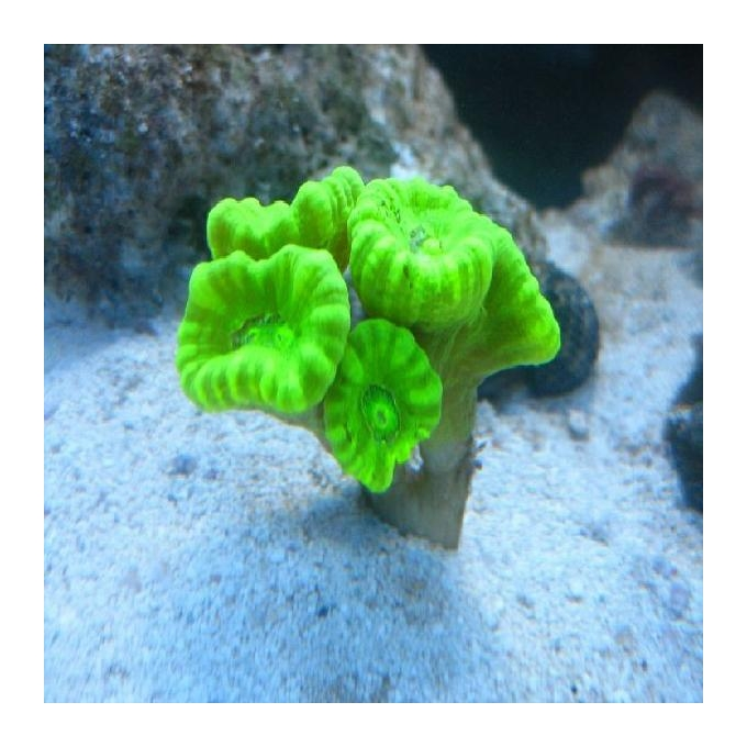 Coral trumpet kriptonita 05 bocas