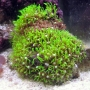 Coral Star Polyps Green ACR-MED