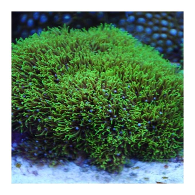Coral star polyps green gr
