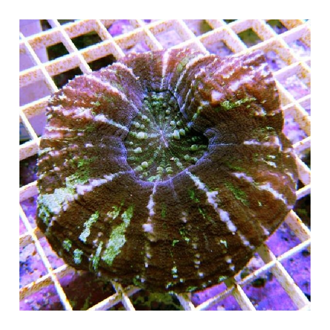 Coral scolymia aussie md