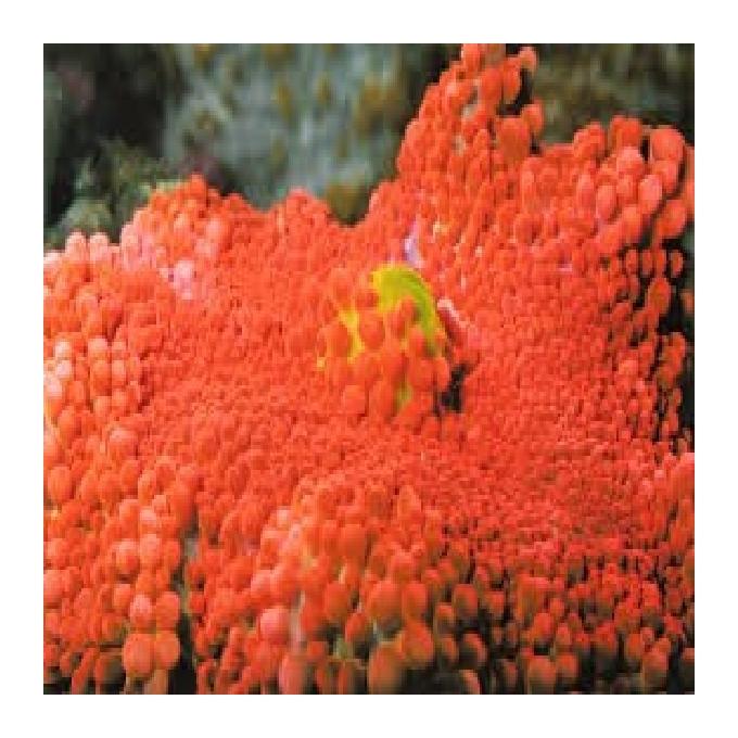 Coral Ricordea florida double polipo