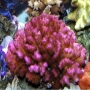 Coral Pocillopora Pink Md