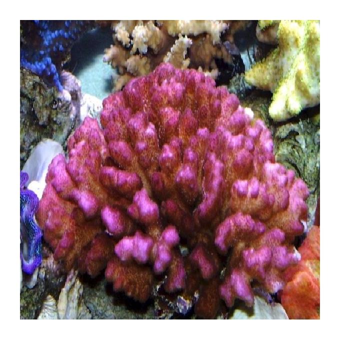 Coral pocilophora pink md