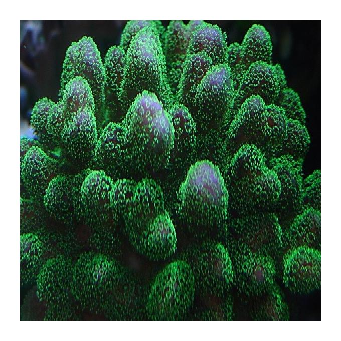 Coral Pocillopora Green Md