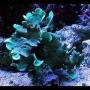 Coral pavona cactus green peq