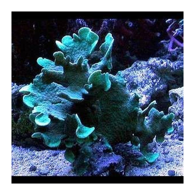 Coral pavona cactus green gr