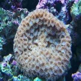 Coral pagoda cup green pq