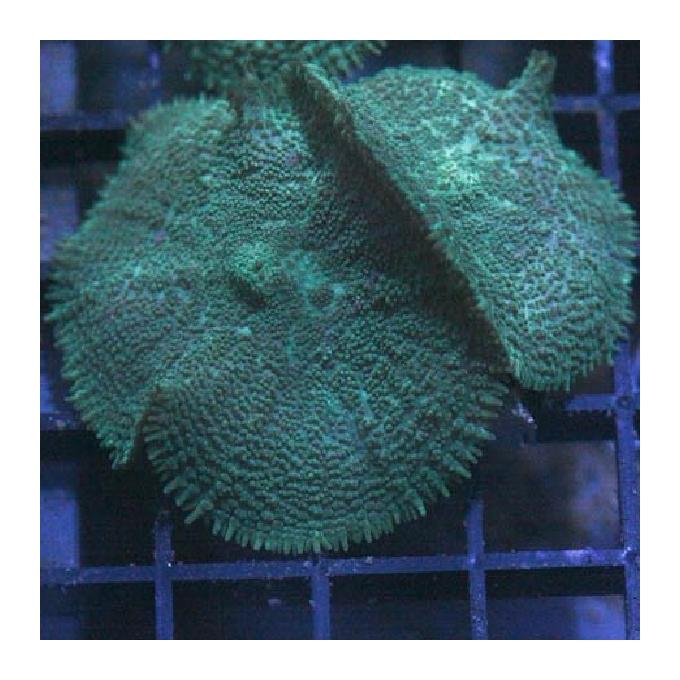 Coral mush tonga md