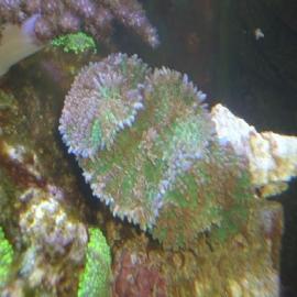 Coral mush orelha elefante gr