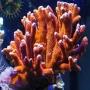 Coral Montipora Digitata Orange pq